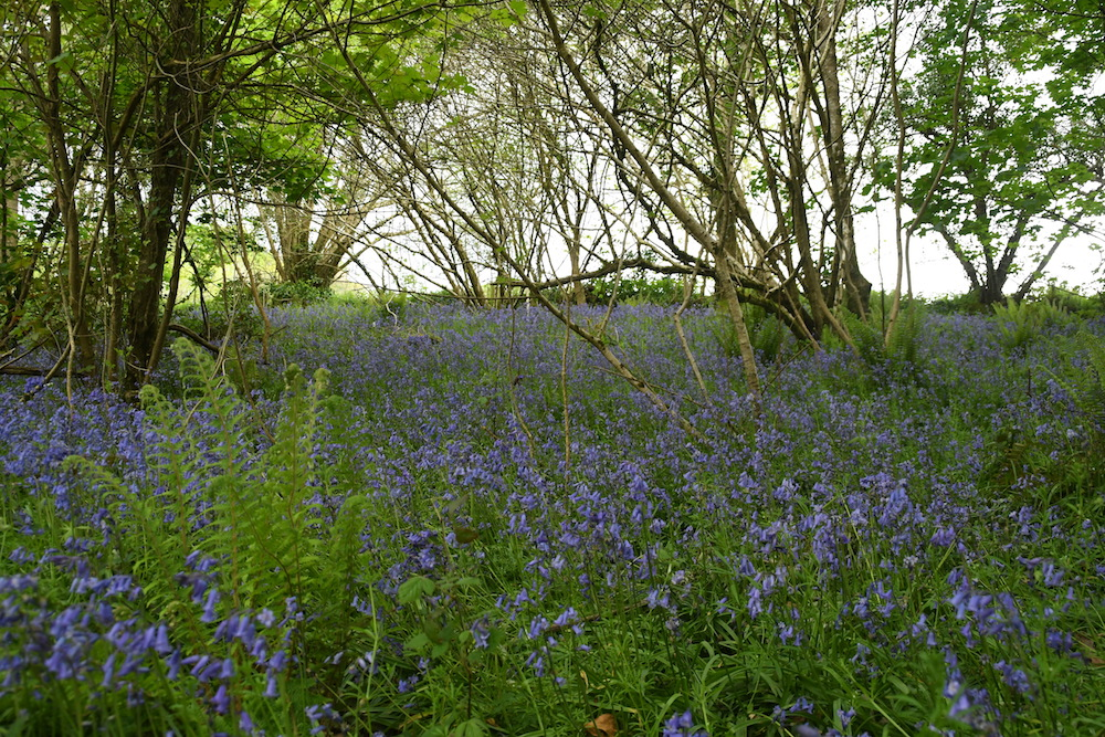 The bluebells were amazing.